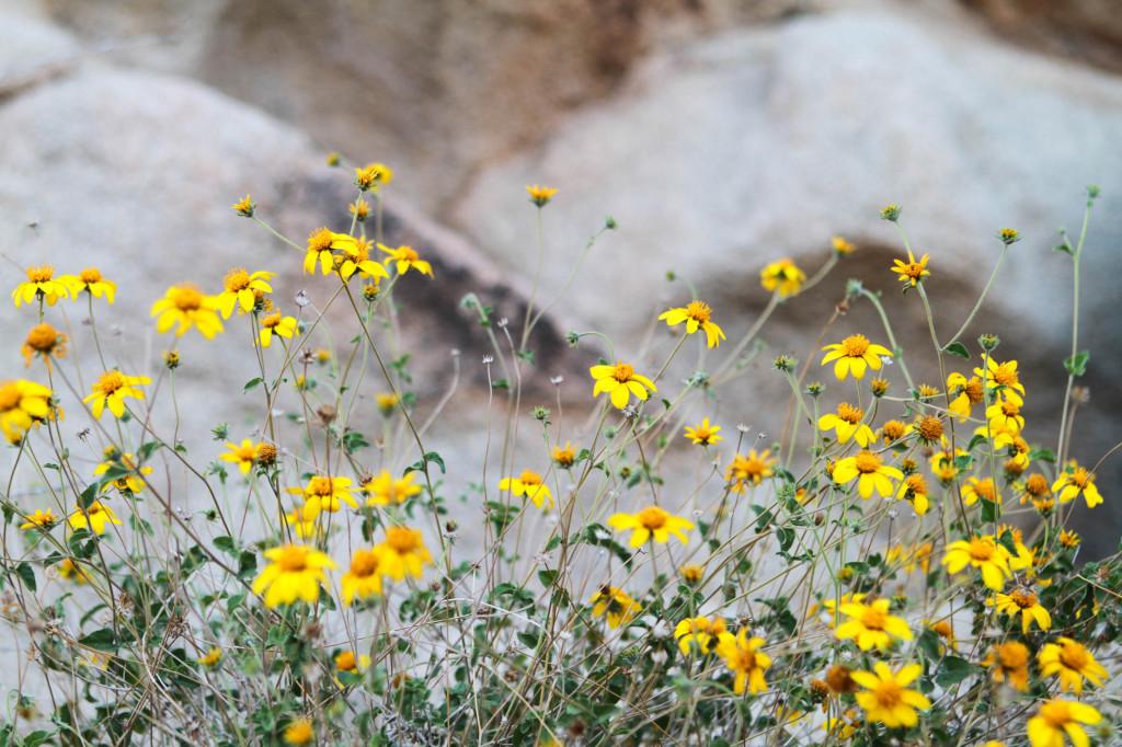 wildflowers joshua tree national park