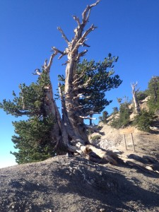 Wally Waldron Tree Mt. Baden Powell Wrightwood